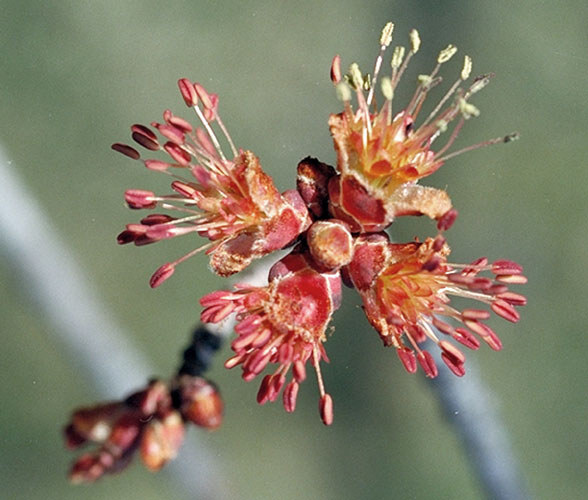 Red Maple (Acer rubrum) Flower2