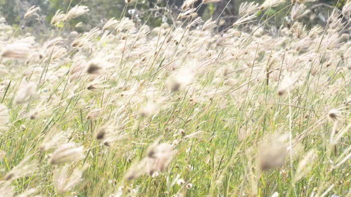 stock-footage-wind-blows-tall-grasses-in-field